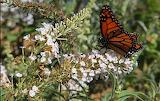 Monarch Preparing to Migrate