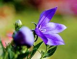 Flores 809