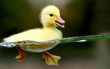 ~ Duckling ~
