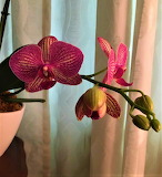 My orchids new growth today