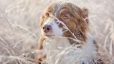 Australian-shepherd-winter-snow