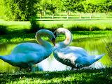 Birds Swans Two Grass White Heart 566179 1363x1024