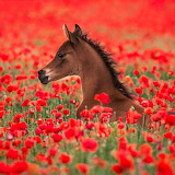 ❤️Little Poppy Field Foal...