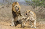 Lion-lioness-attack-fight