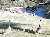 Tech Park Goose Family