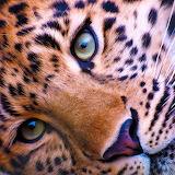 *Leopard Face...