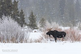 Jason Savage Photography Moose In Snow