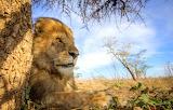 Panthera leo ~ Serengeti, Tanzania