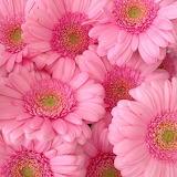 Gerberas pink
