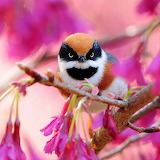 Black-throatedBushtit
