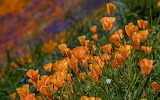 Flowers - California Poppies
