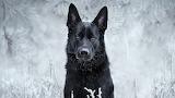 German-shepherd-black-winter