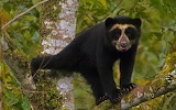 A spectacled bear cub in Maquipucuna Cloud Forest Reserve. Ecuad