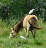 buckskin and egret