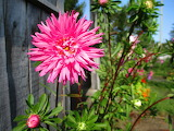 Big Pink Bloom