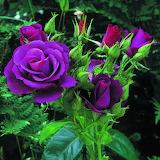 Dark-purple-rose-flower