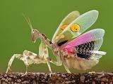 "Science tumlr currentsinbiology ""Jeweled flower mantis"""