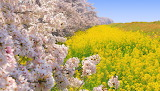 Blooming Cherry Trees and Mustard Field