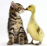 Kitten and a Gosling...