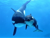 Orca Whale and Calf