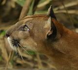 Puma ~ Osa Peninsula