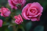 Rose-615268