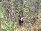 Bull Moose Sighting