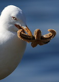 gaivota comendo 12 pezas
