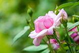 Roses Pink color Flower-bud 519414 1280x853