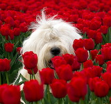 OldEnglishSheepDogInRedTulips