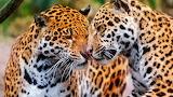 Jaguars couple