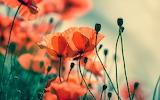 poppies###1335 139