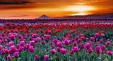 Tulip fields, hills, sunset, sky, clouds, nature, landscape