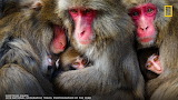 mother macaques huddled together after grooming in Awaji Island