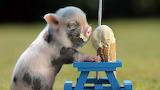 Sweets sugar baby pig