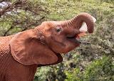 Baby elephant feeding herself