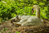 Swan, birds, branches, nature, chick