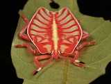 "Science currentsinbiololgy ""Giant Shield Bug Nymph"" ""Eusthenes s"