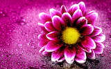 Flor Rosa - Pink Flower