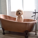 Bath time for the Labradoodle