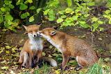 Foxy Nibble