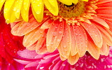 gerbera flowers with water drops