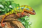 Chameleon, leaves, branch, reptile