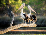 Julie Fletcher Photography Pelican Murray River South Austral