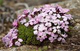 Tiny Flowers - Moss Campion