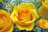 Rosa Groga - Yellow Rose