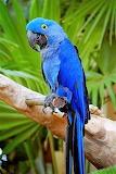Macaws blu