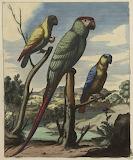 Perroquets Estampe 435