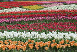 Tulip Field, Gujo, Japan