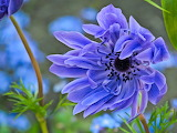 ^ Blue Anemone Flower Blowing in the Wind